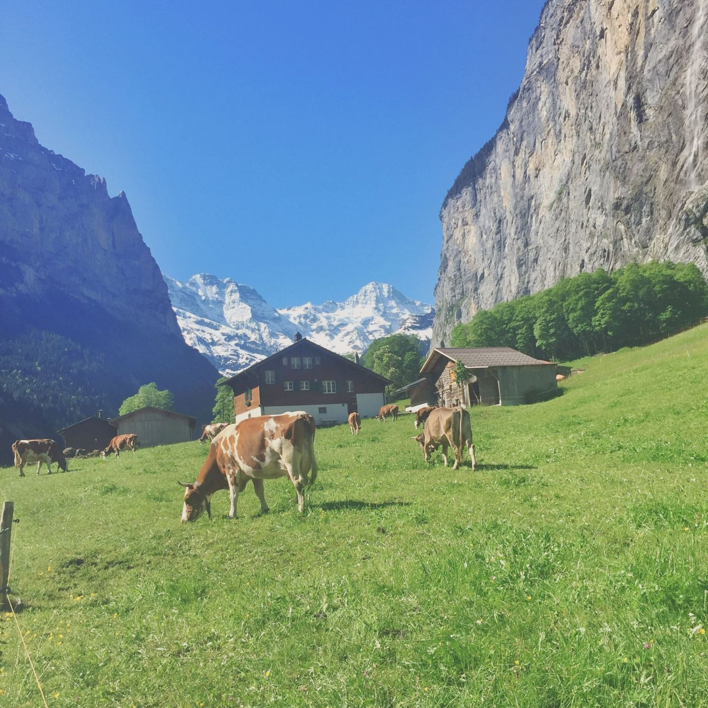 Cows grazing in a meadow with swiss chalet and mountains in the background