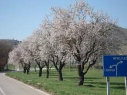 Navelli - mandorli in fiore