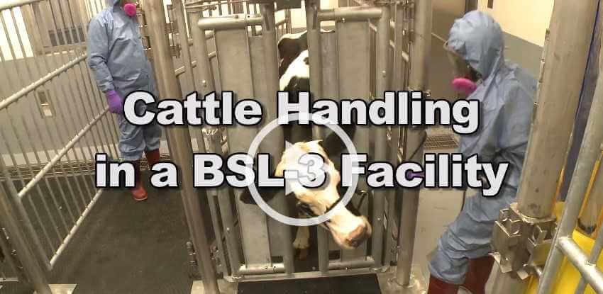 Cattle Handling at a BSL-3 Facility