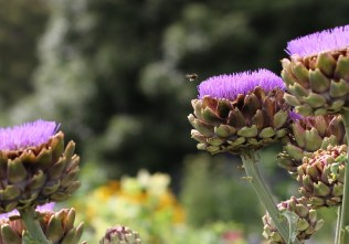 bumble bee hovering over artichokes