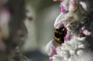 bumble bee in stachys flower