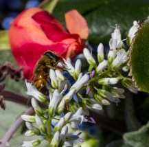 hoverfly on cutflowers