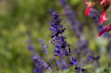 salvia indigo spires and wool cardeer bee