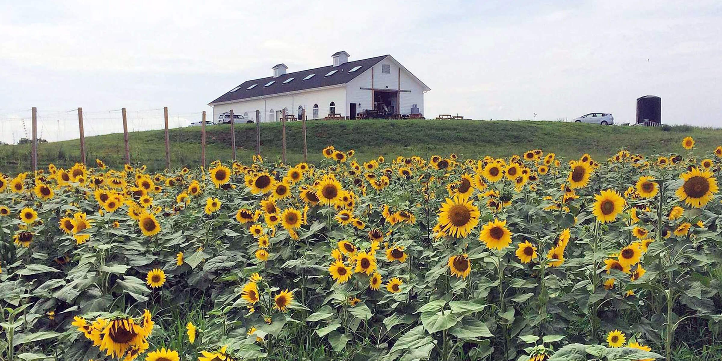 A field of sunflowers outside Lickinghole Creek Craft Brewery in Goochland, Virginia