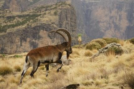 The Walia Ibex