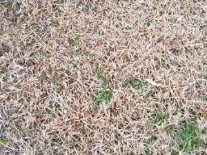 A close-up image of a dead lawn in need of fertilization