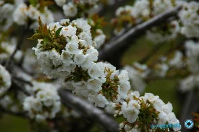 cerezos en flor (Valle del Jerte) (1)
