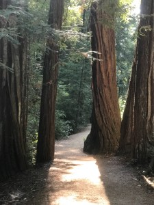 photo of Redwood Trees with sidewalk at Big Basin National Park