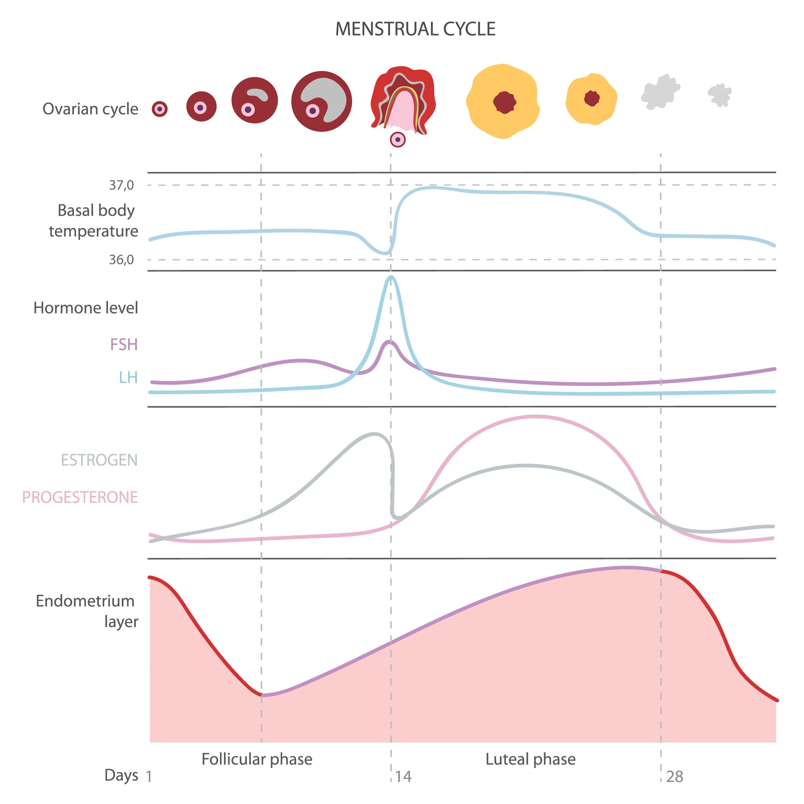 The menstrual cycle, showing changes hormones, endometrial basal body temperature.