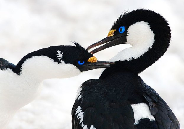 blue-eyed-shags-antarctic