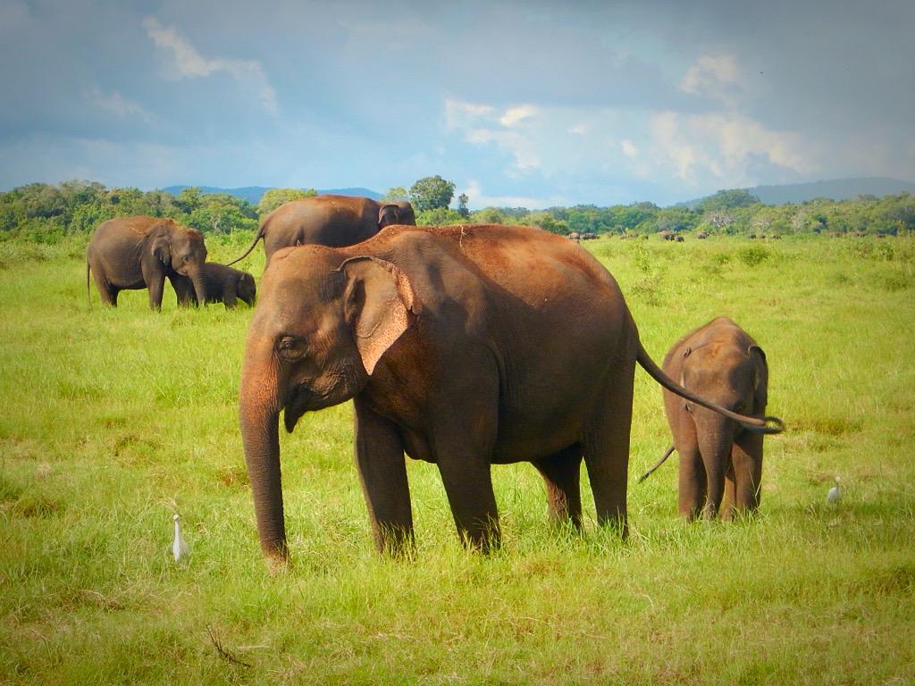 Minneriya National Park, Habarana, Sri Lanka, 100 elephants, safari