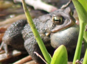 "This noisy ""frog"" turned out to be a toad!"