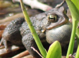 """This noisy """"frog"""" turned out to be a toad!"""
