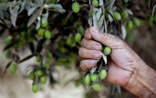 """""""If the olives knew the hands that planted them, their oil would become tears."""" - Mahmoud Darwish, Palestinian poet."""