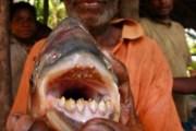 Pacu, il pesce tagliatore di palle (2)
