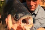 Pacu, il pesce tagliatore di palle (3)