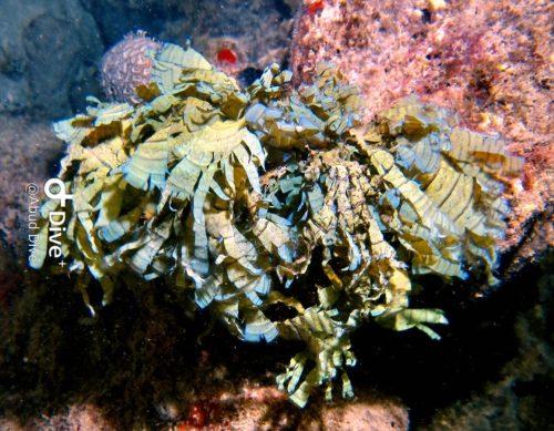Alga Marinha Marron