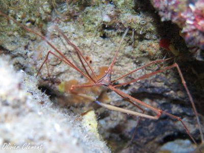 caranguejo aranha