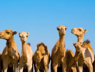 animals hero camels