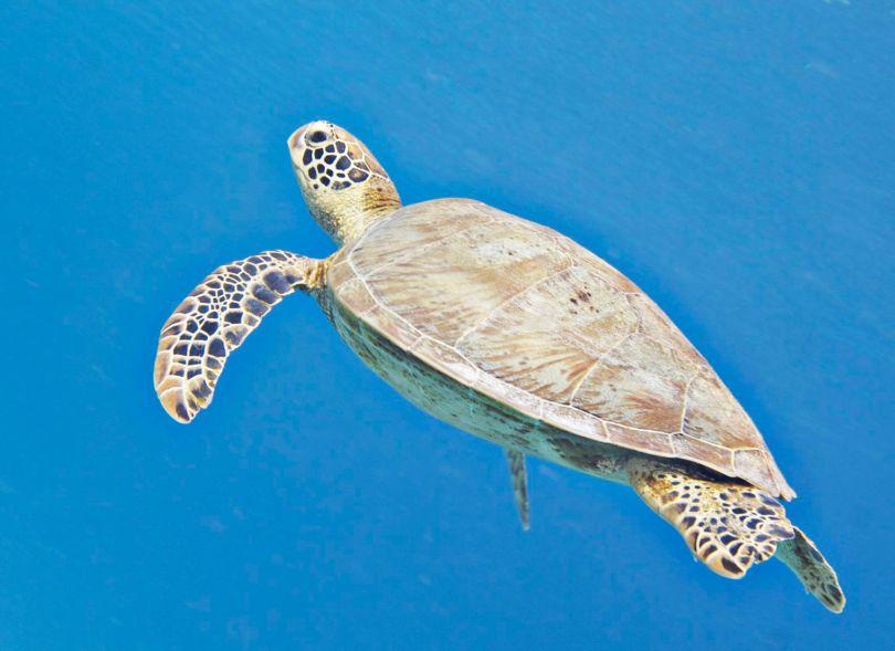 tubbataha_turtles