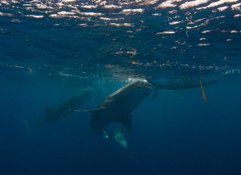 whale sharks of oslob jayvee coral triangle
