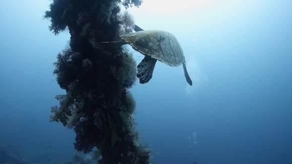tulamben usat liberty turtle