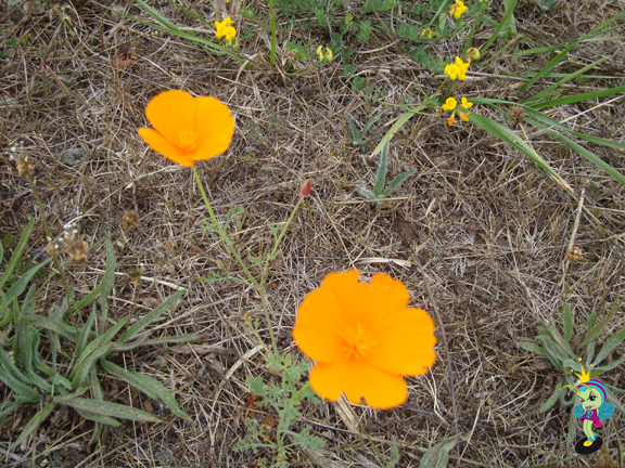 California state flower: Poppy