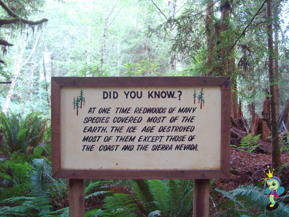 a fascinating Redwood fact at the Trees Of Mystery