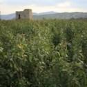 Ymn-neartaiz-watchtower-watering-qat-foto-Nico-te-Laak