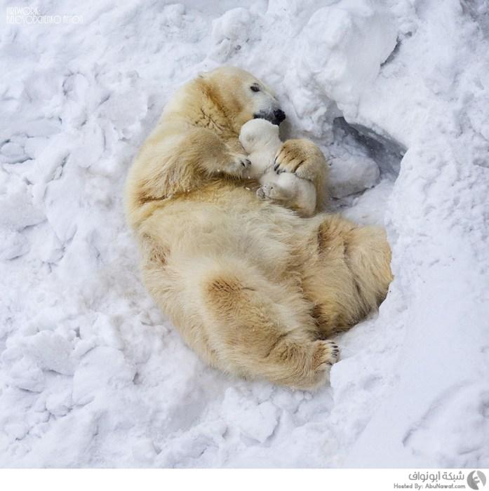 صور دب قطبي