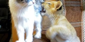 صداقة مميزة بين شبلة وقطة