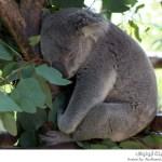 دببة الكوالا