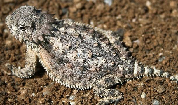 short horned lizard