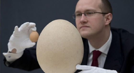 بيضة طائر الفيل