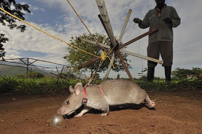 فئران تكشف الألغام الأرضية5