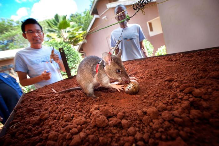 فئران تكشف الألغام الأرضية6