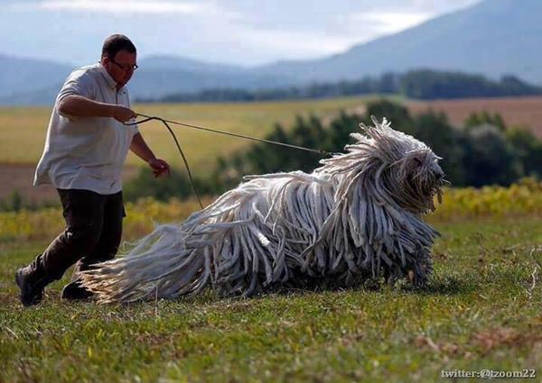 كلب كوموندور