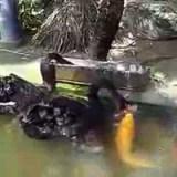 بطة تطعم السمك
