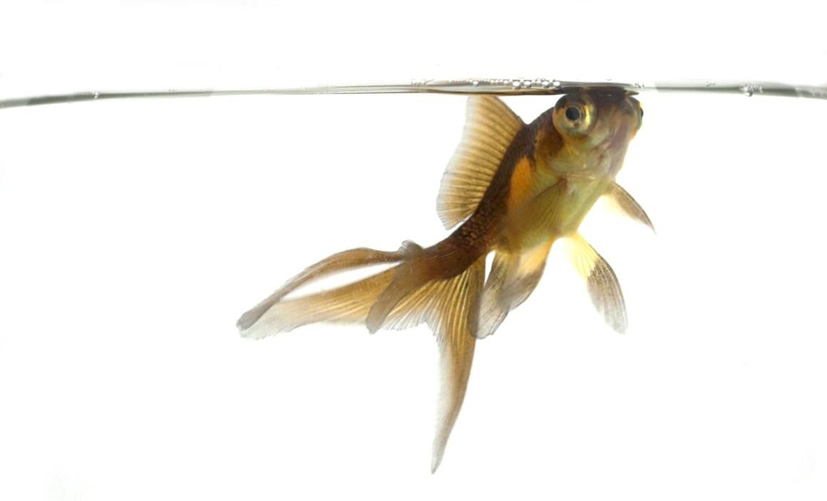 هل يشعر السمك بالعطش