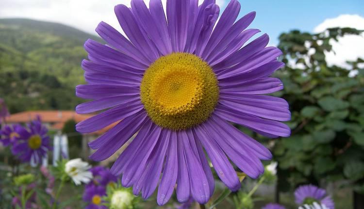 زهرة الأستر 183179