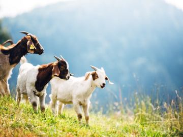Expert Busts Myth That Goat Is The Most Consumed Meat In The World