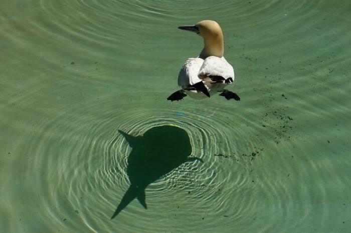 يبدو ظل الطائر كأنه سمكة تحت الماء