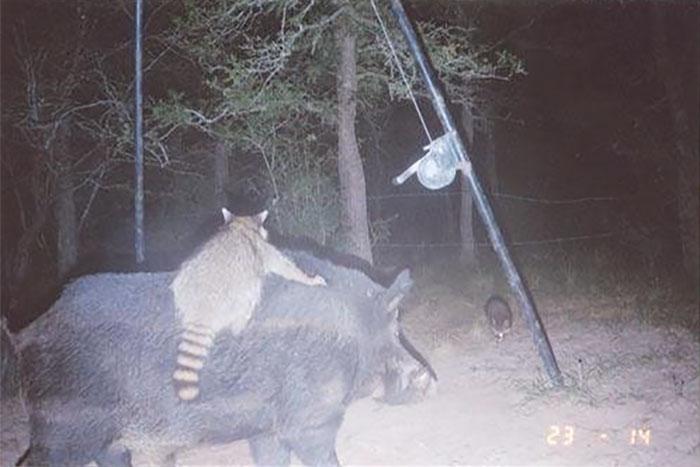 كاميرا سرية للحيوانات