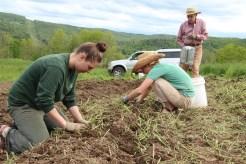 Planting into Winter Rye stubble