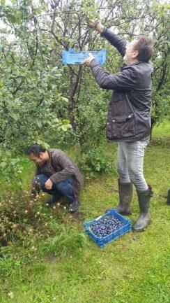 Abundance London Fruit Picking