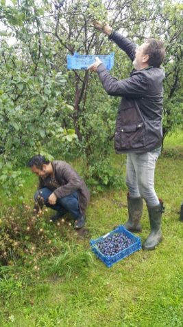 Abundance London Fruit Picking