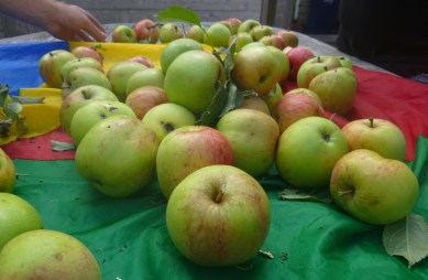 apples and hand sorting