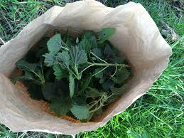 urtica nettles image foraging