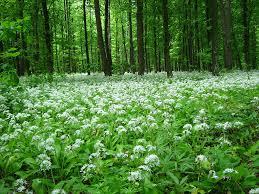 wild garlic image