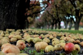 windfall-pears-on-grass